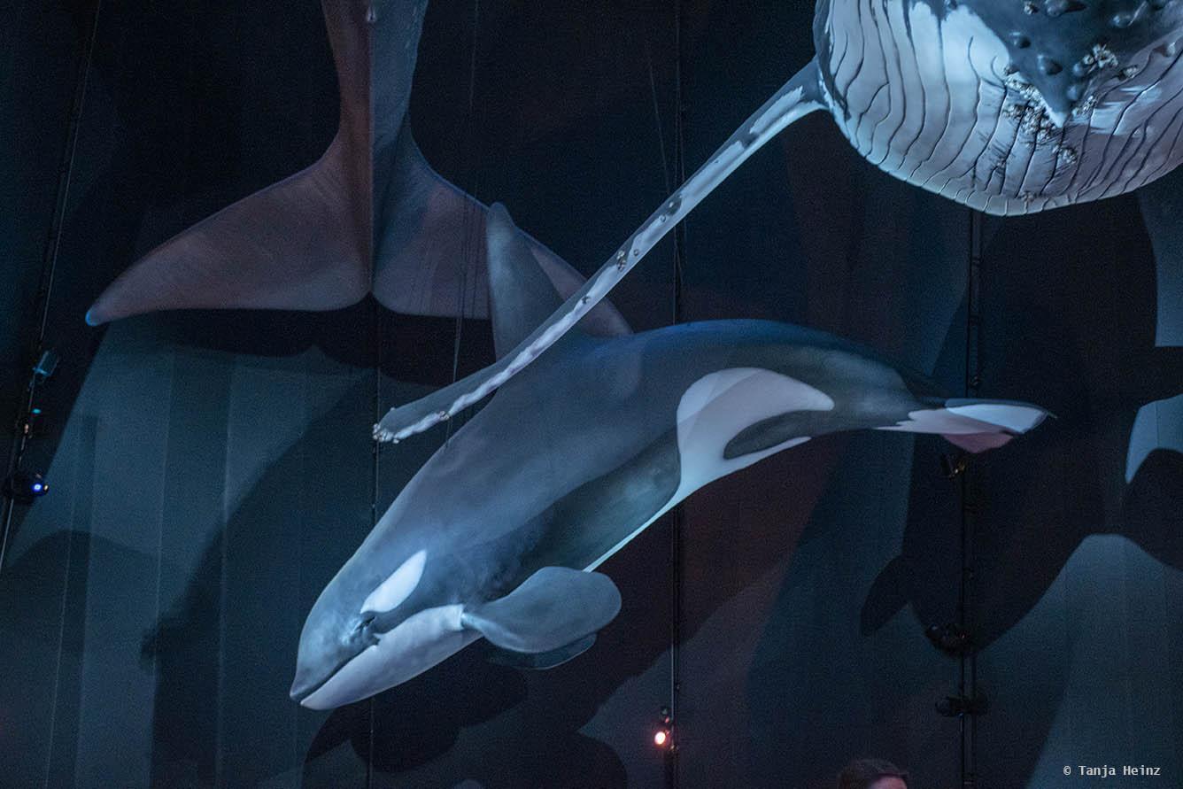 Orcas im Ozeaneum