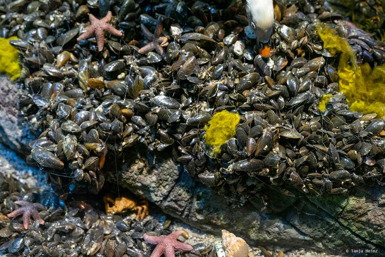 Miesmuscheln im Ozeaneum
