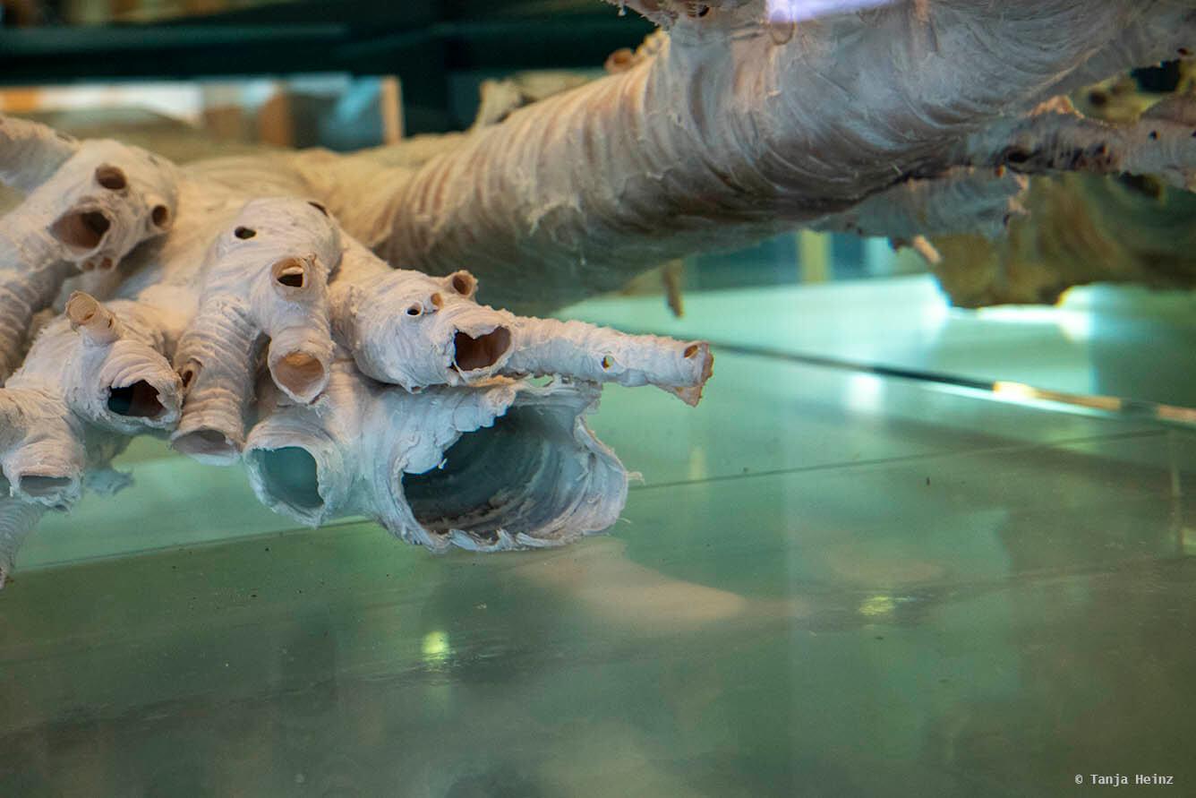 Luftröhre eines Finnwals