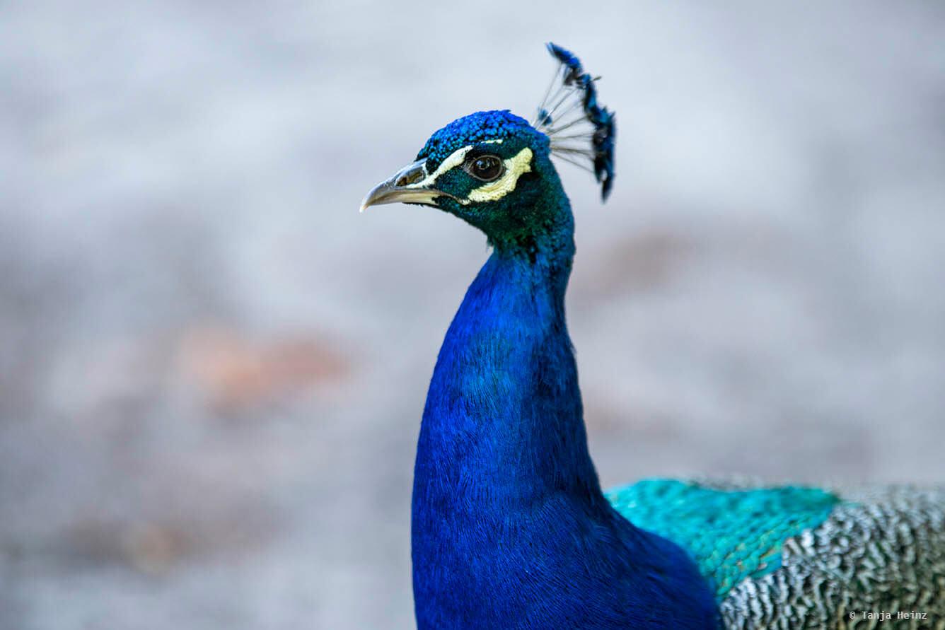 Blauer Pfau auf der Pfaueninsel