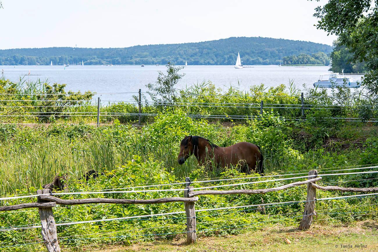 Pferd auf der Pfaueninsel