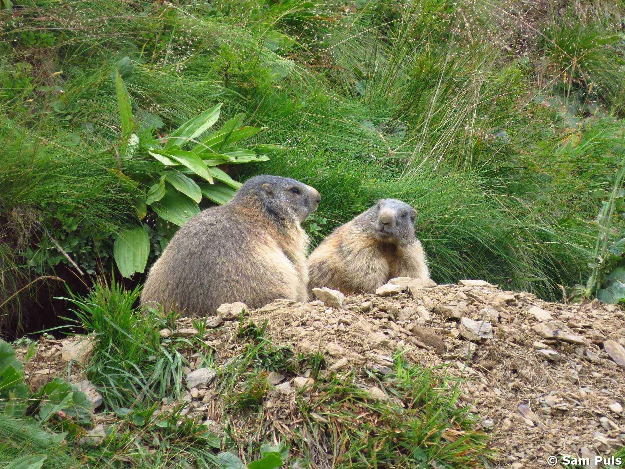 Marmot in Slovakia