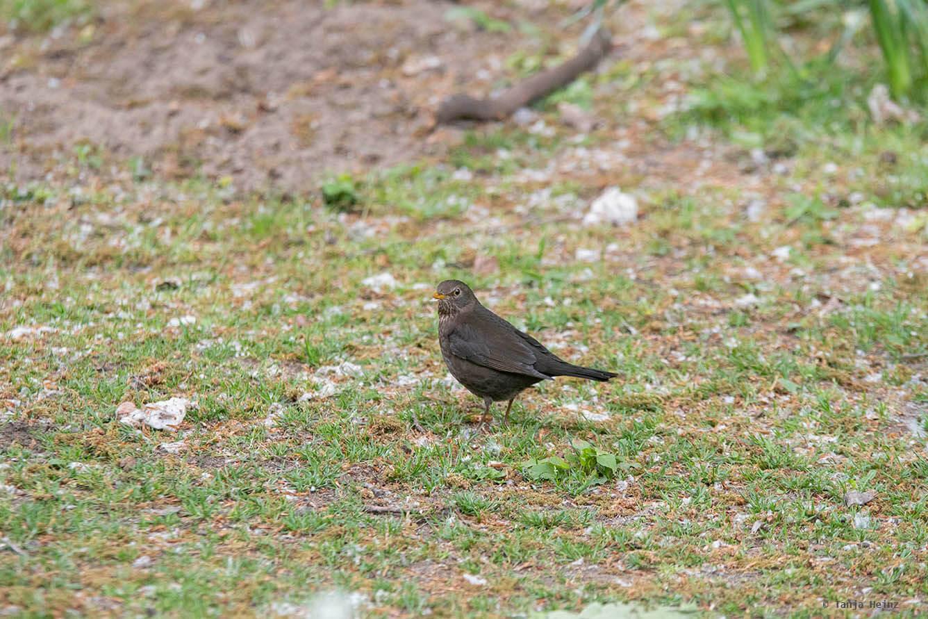 Eurasian blackbird in Berlin