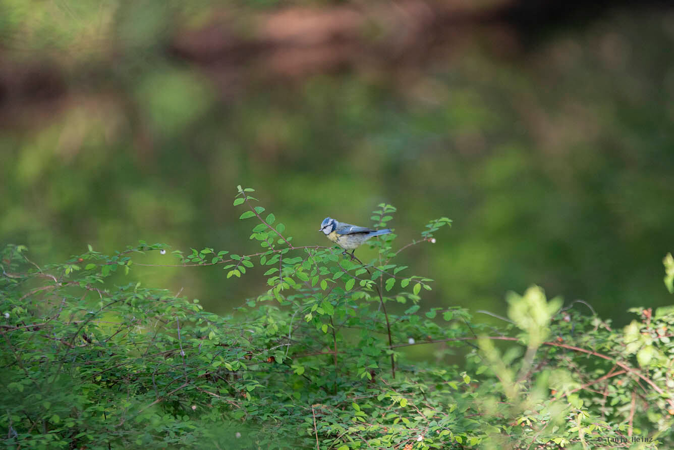 Blaumeise im Tiergarten