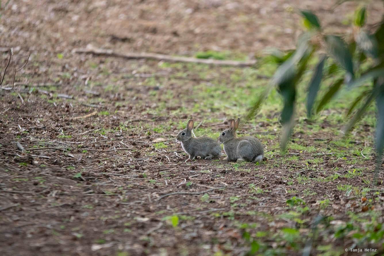 Wildkaninchen im Tiergarten