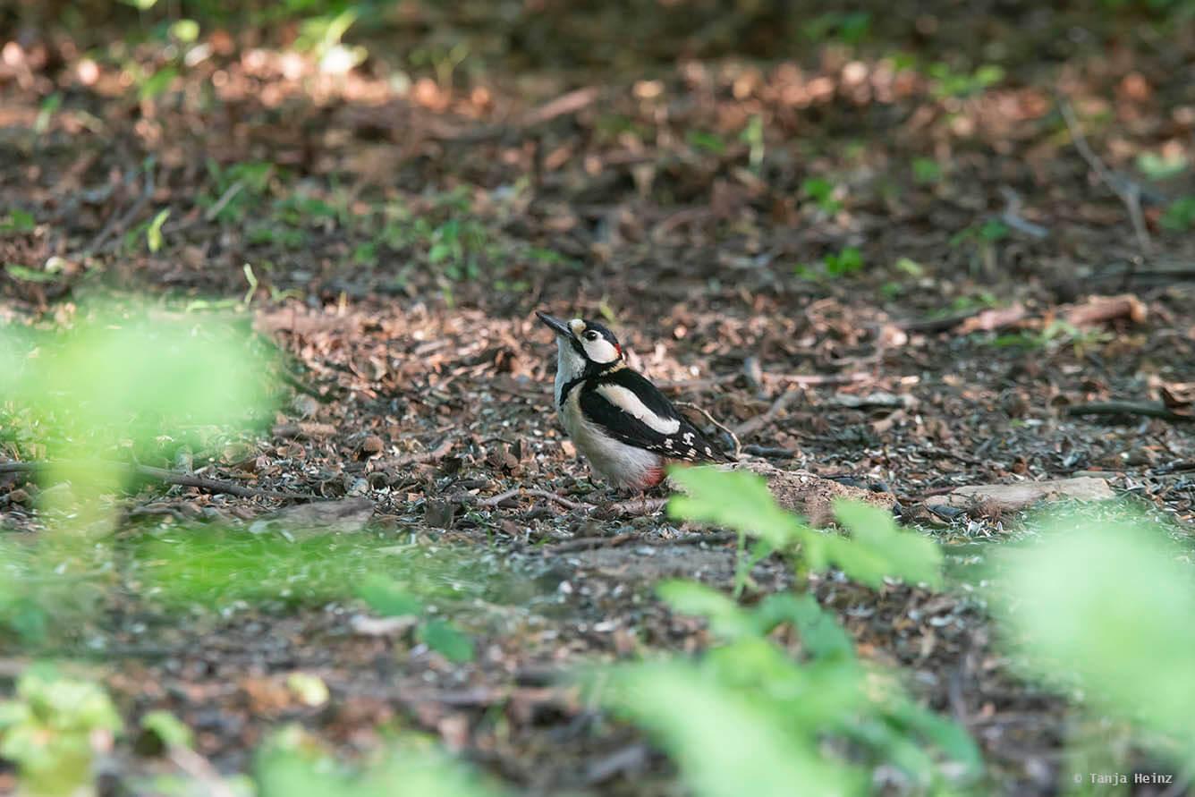 Buntspecht im Tiergarten