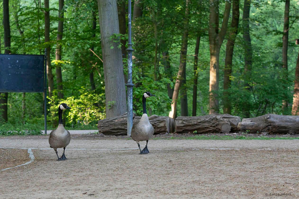 Kanadagänse im Tiergarten