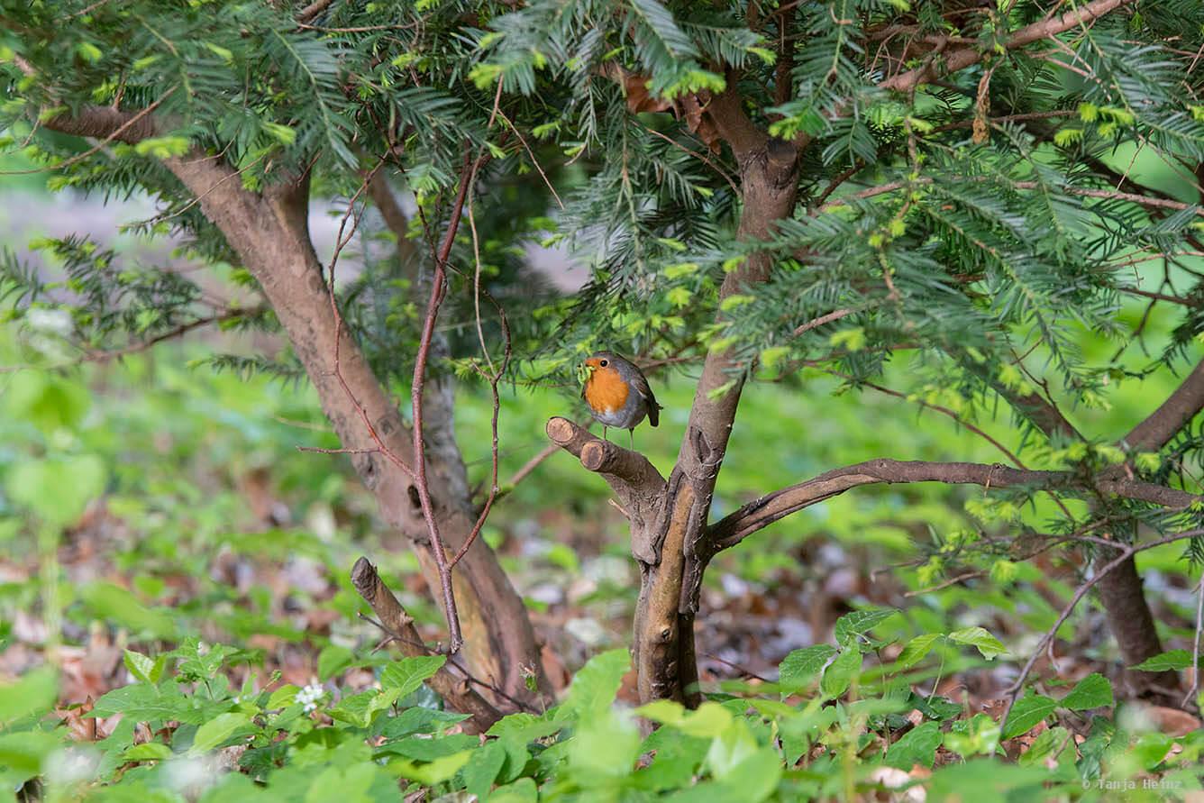 Rotkehlchen im Tiergarten