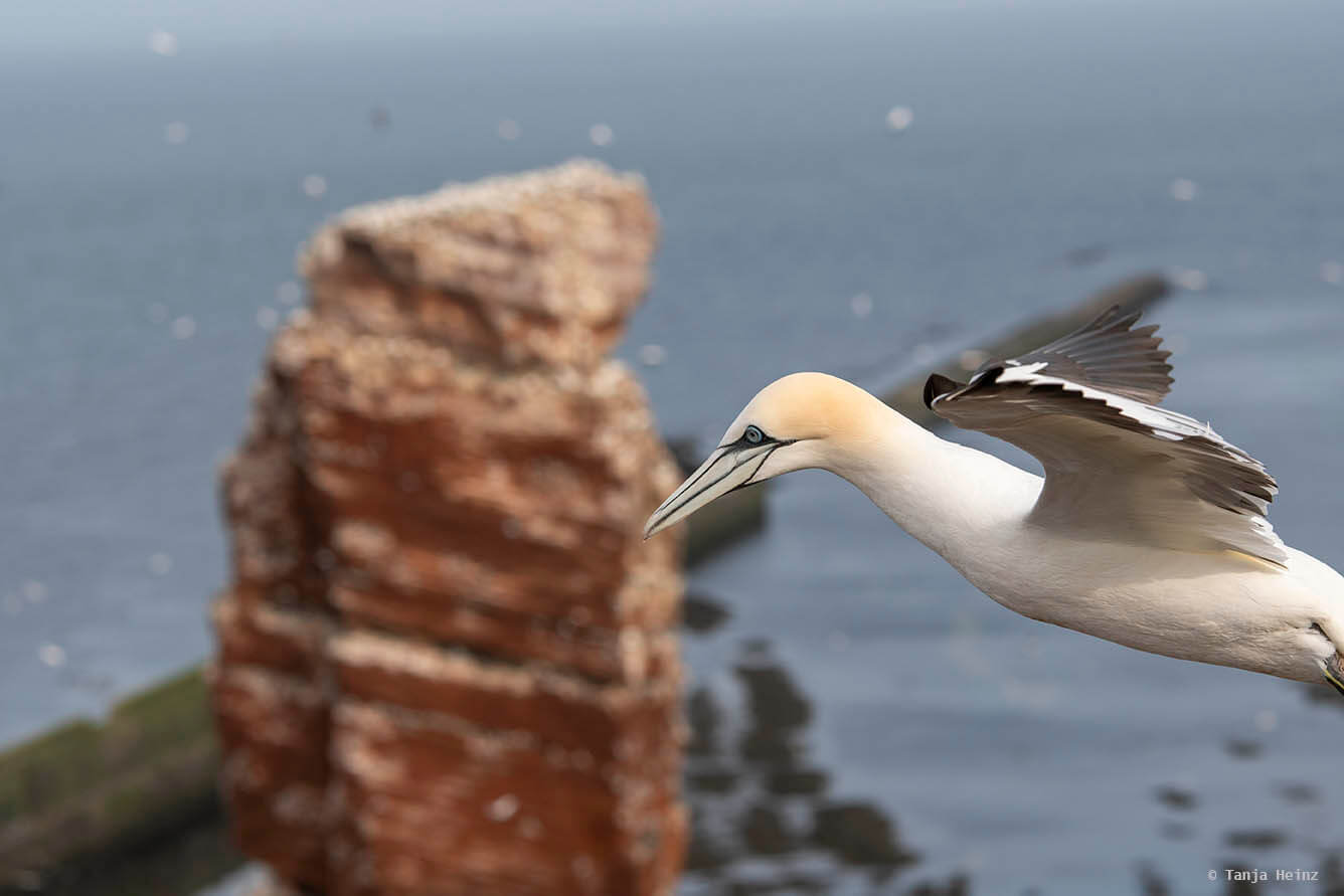 northern gannets on Heligoland