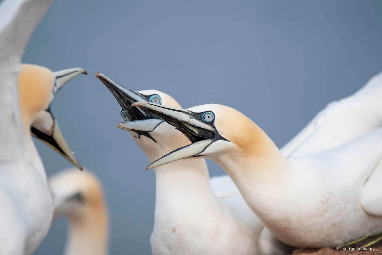 northern gannets on Heligoland