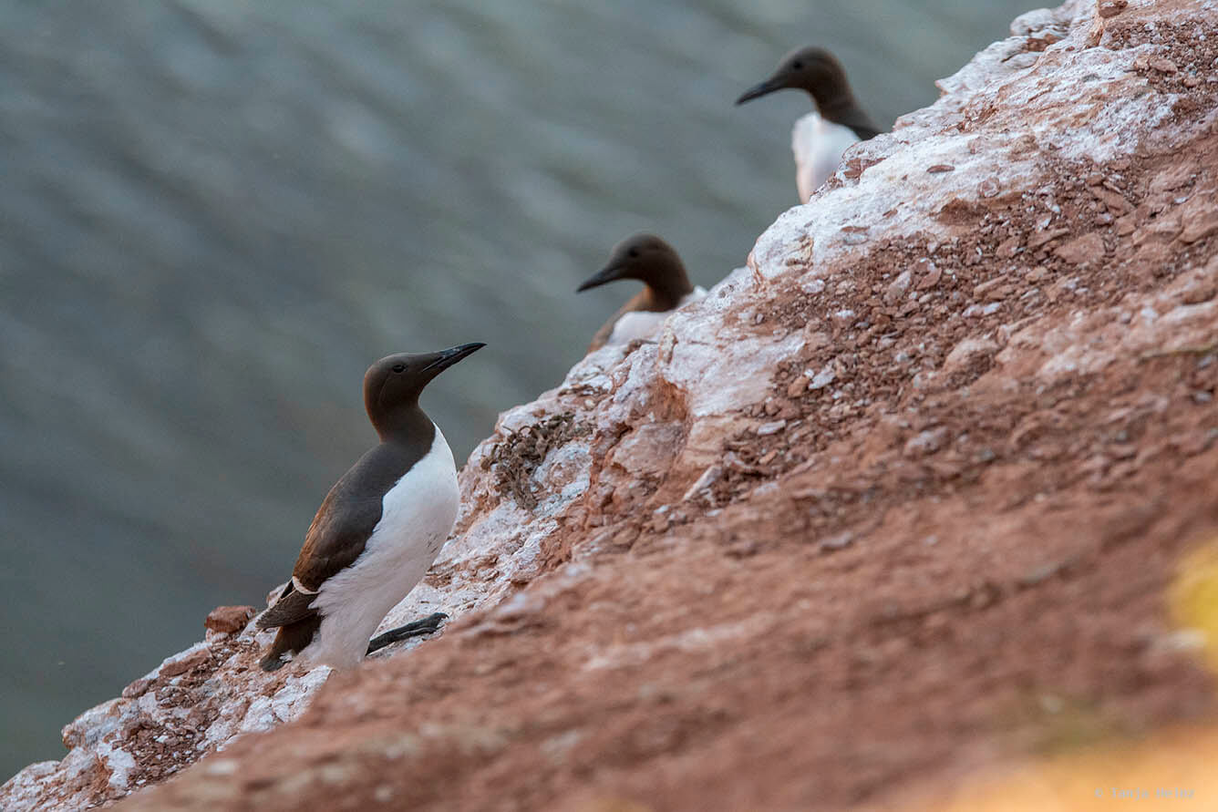 common guillemots on Heligoland