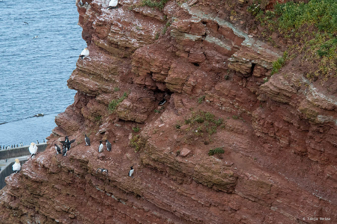 razorbill on Heligoland