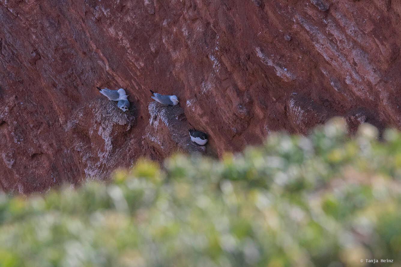 Tordalk auf Helgoland