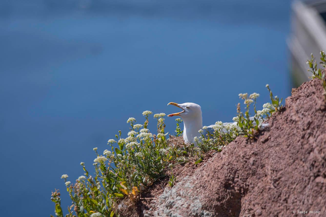 Silbermöwe auf Helgoland
