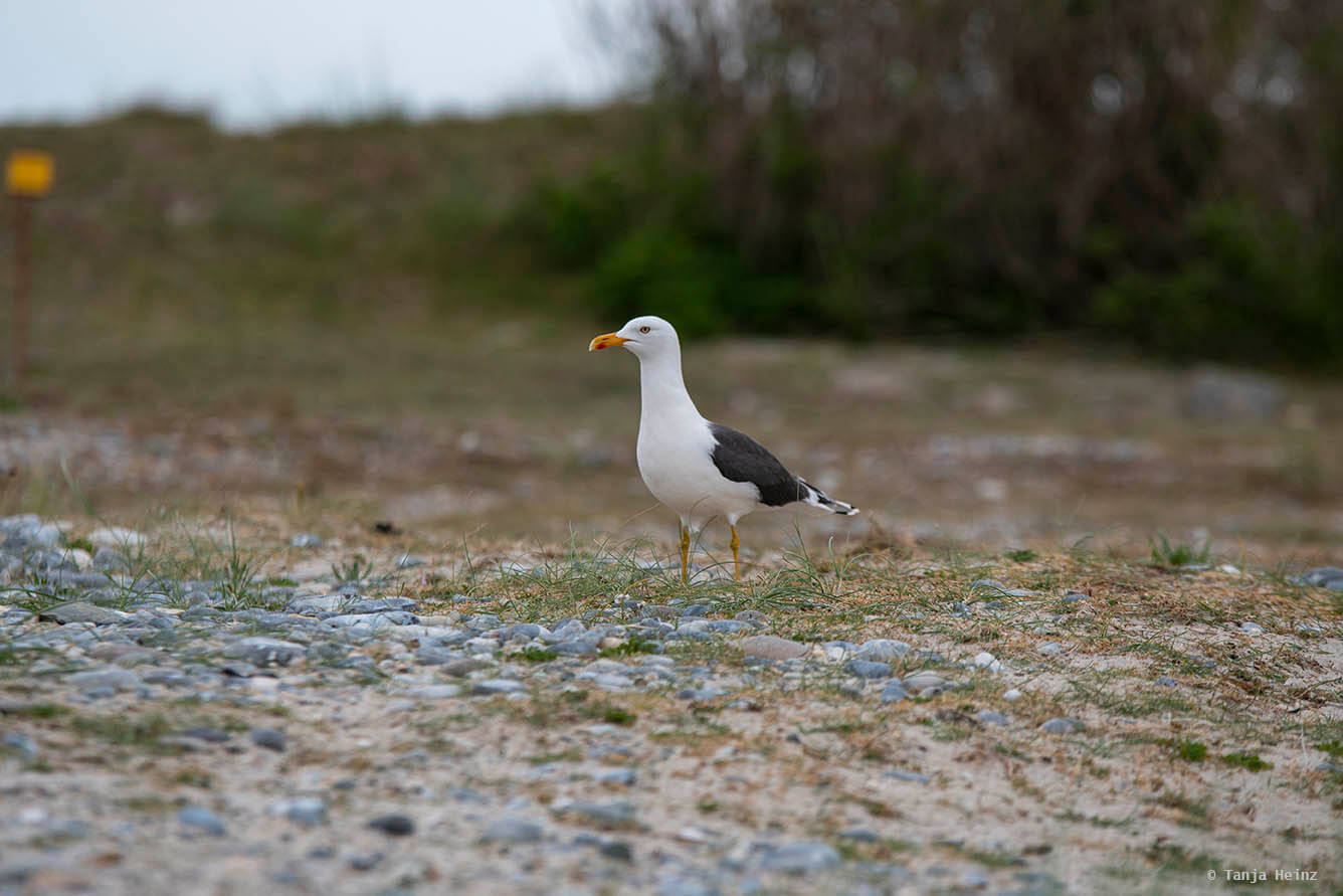 lesser black-backed gulls on Heligoland