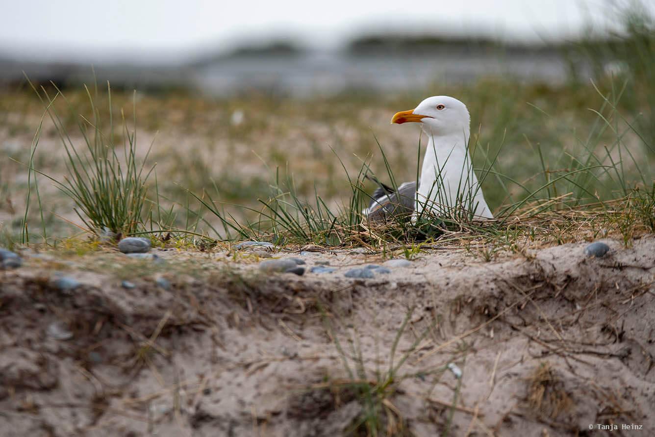 Heringsmöwe auf Helgoland