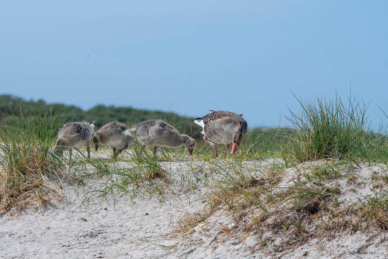 greylag geese on Heligoland