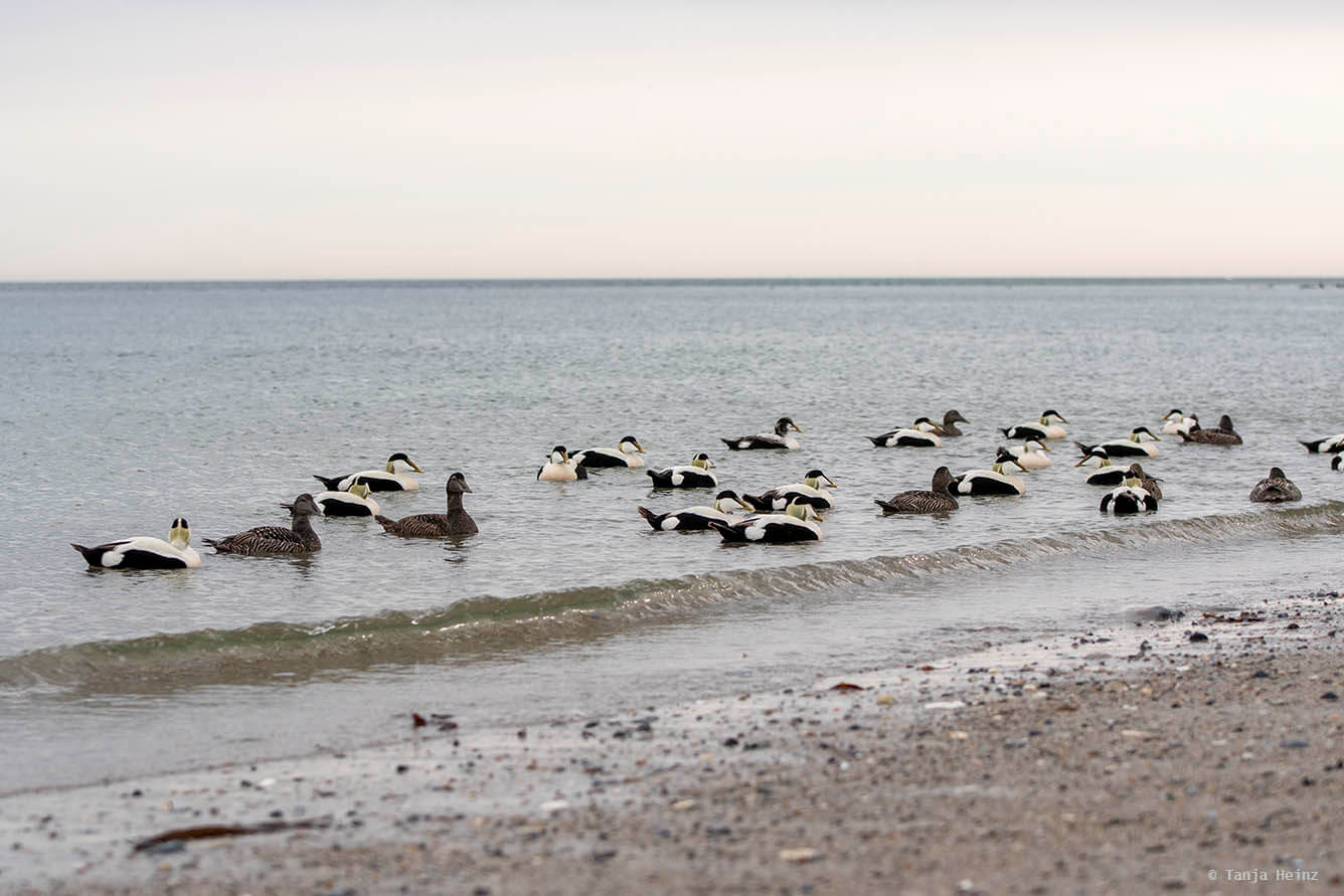 eider ducks on Heligoland