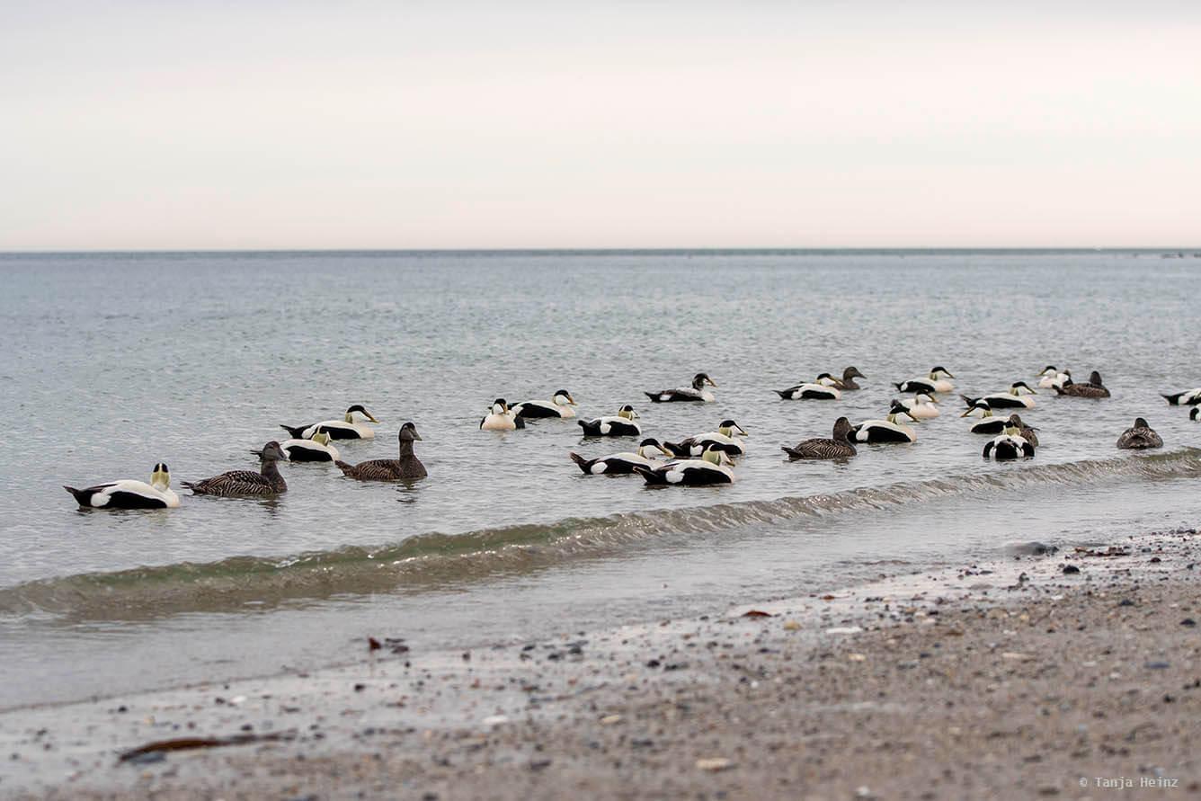 Eiderenten auf Helgoland