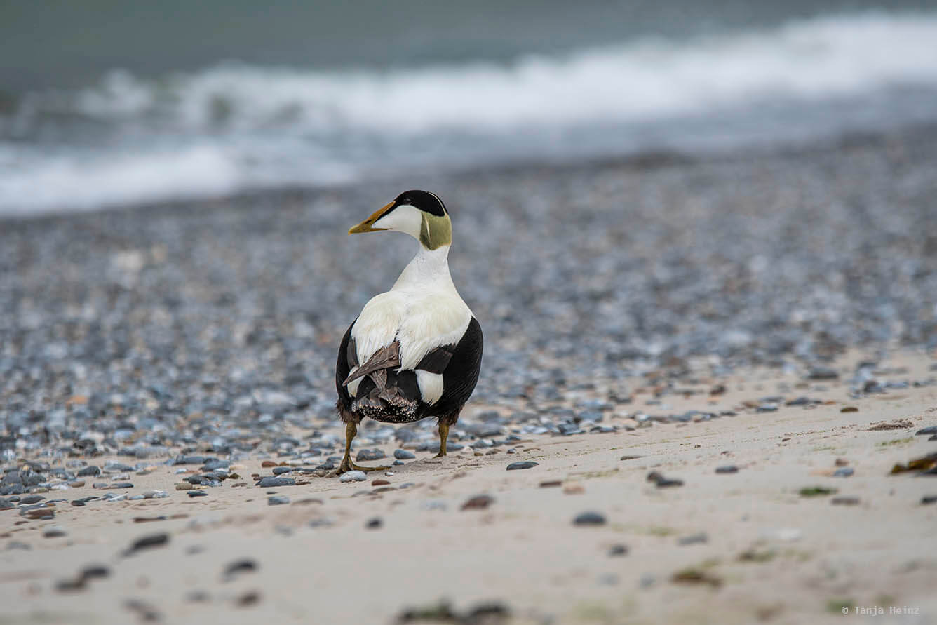 eider ducks on Heligoland