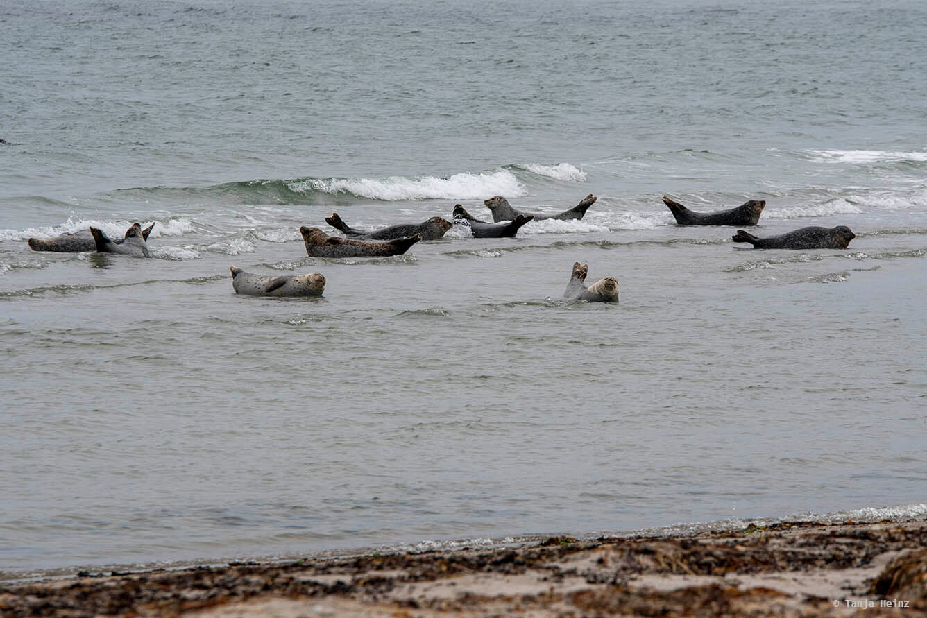 harbor seals on Heligoland
