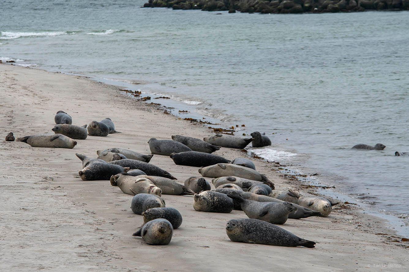 harbor seals on Heligoland