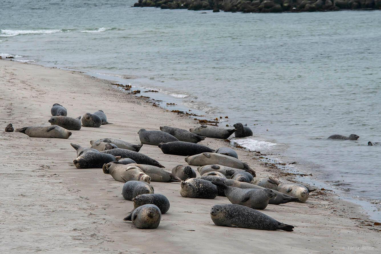 Seehunde auf Helgoland