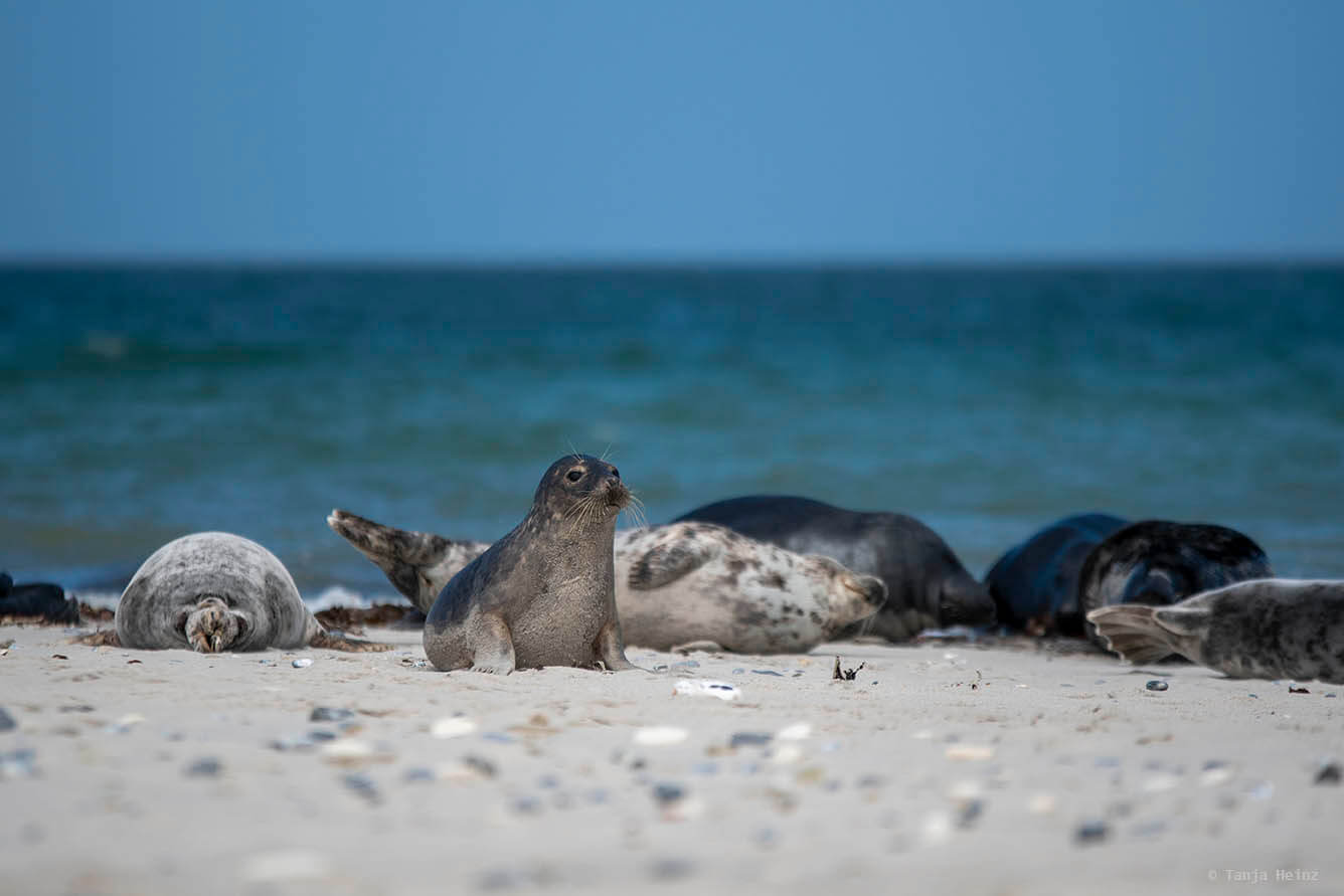 grey seals on Heligoland
