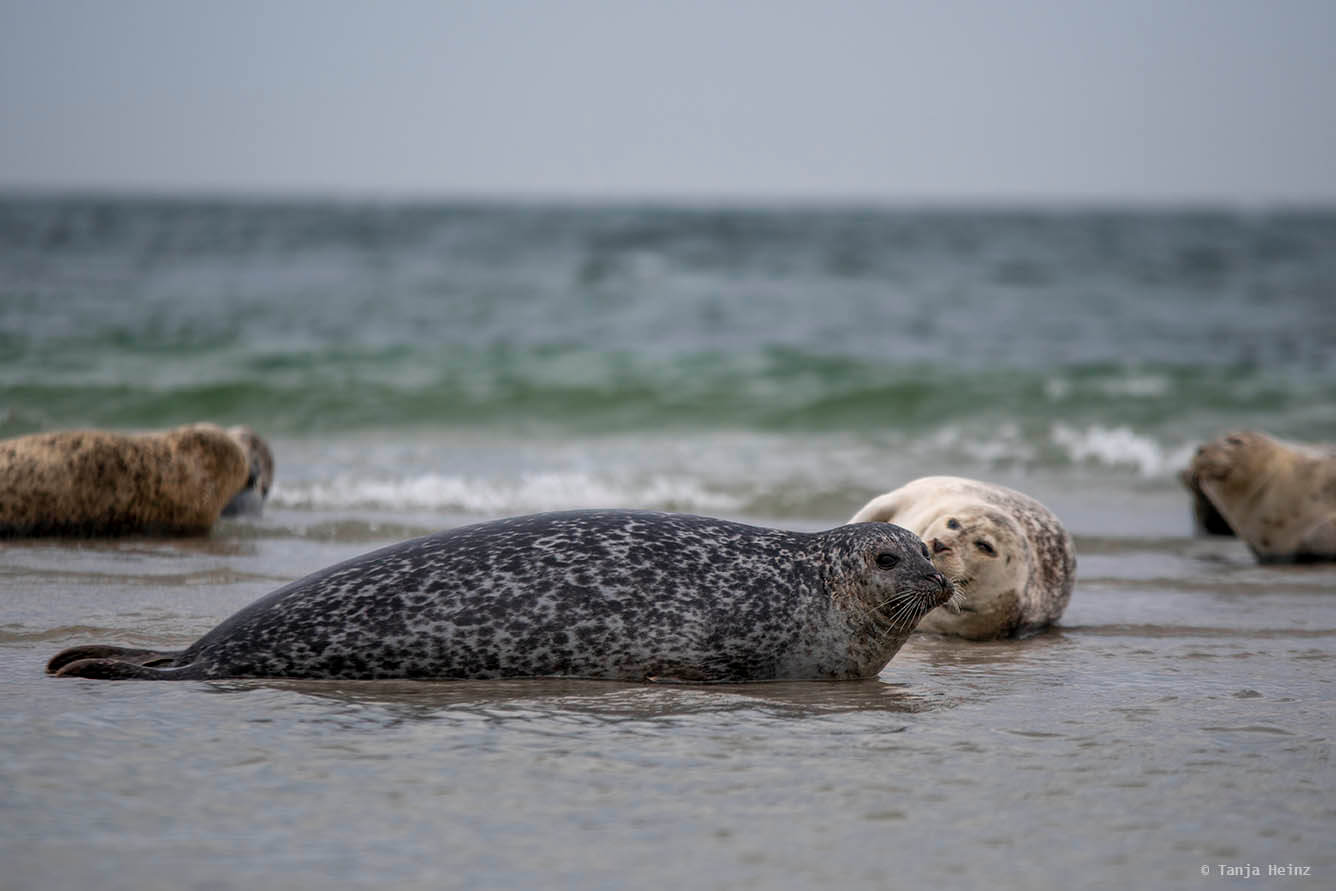 harbor seal on Heligoland
