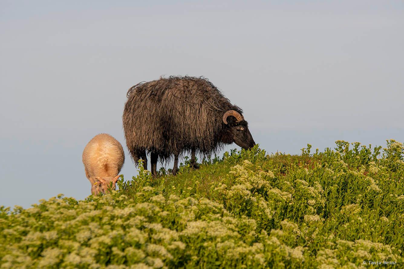 Schafe auf Helgoland