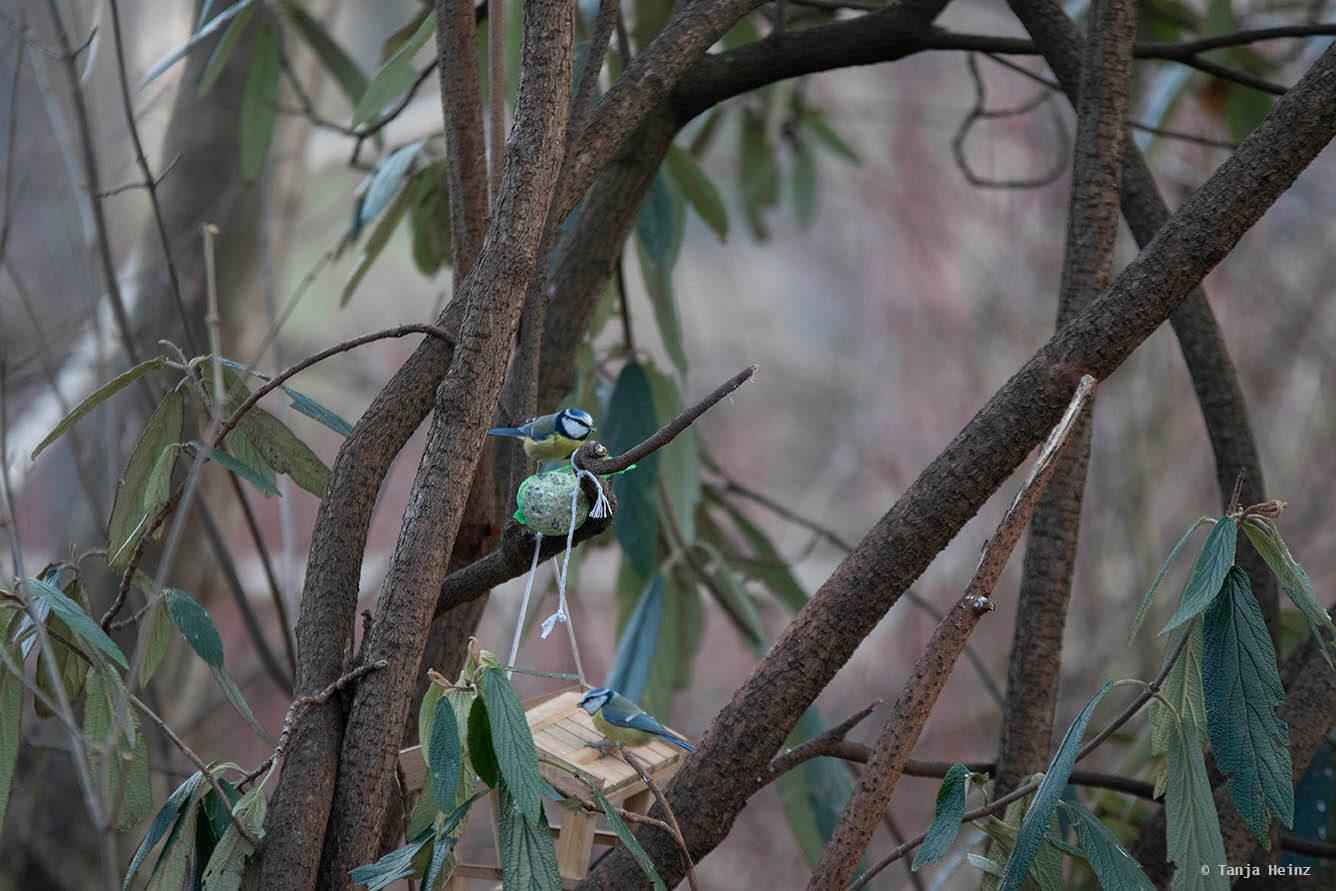 Blaumeisen im Tiergarten