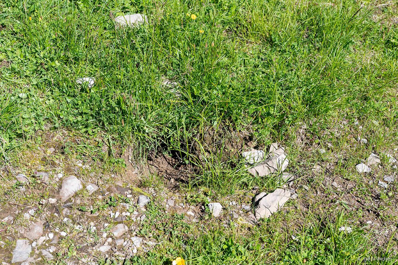 Den of alpine marmots