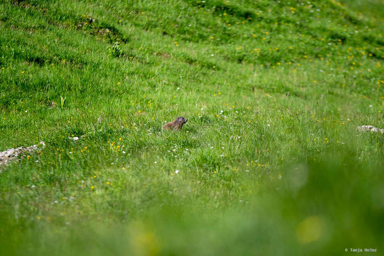 Murmeltier in den Allgäuer Alpen