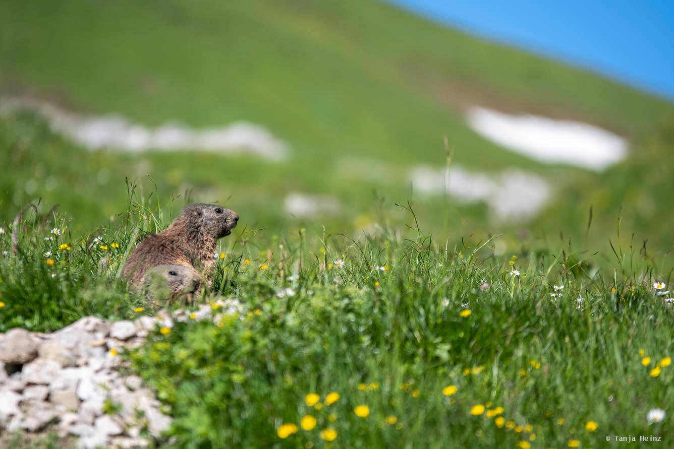 Murmeltiere in den Allgäuer Alpen