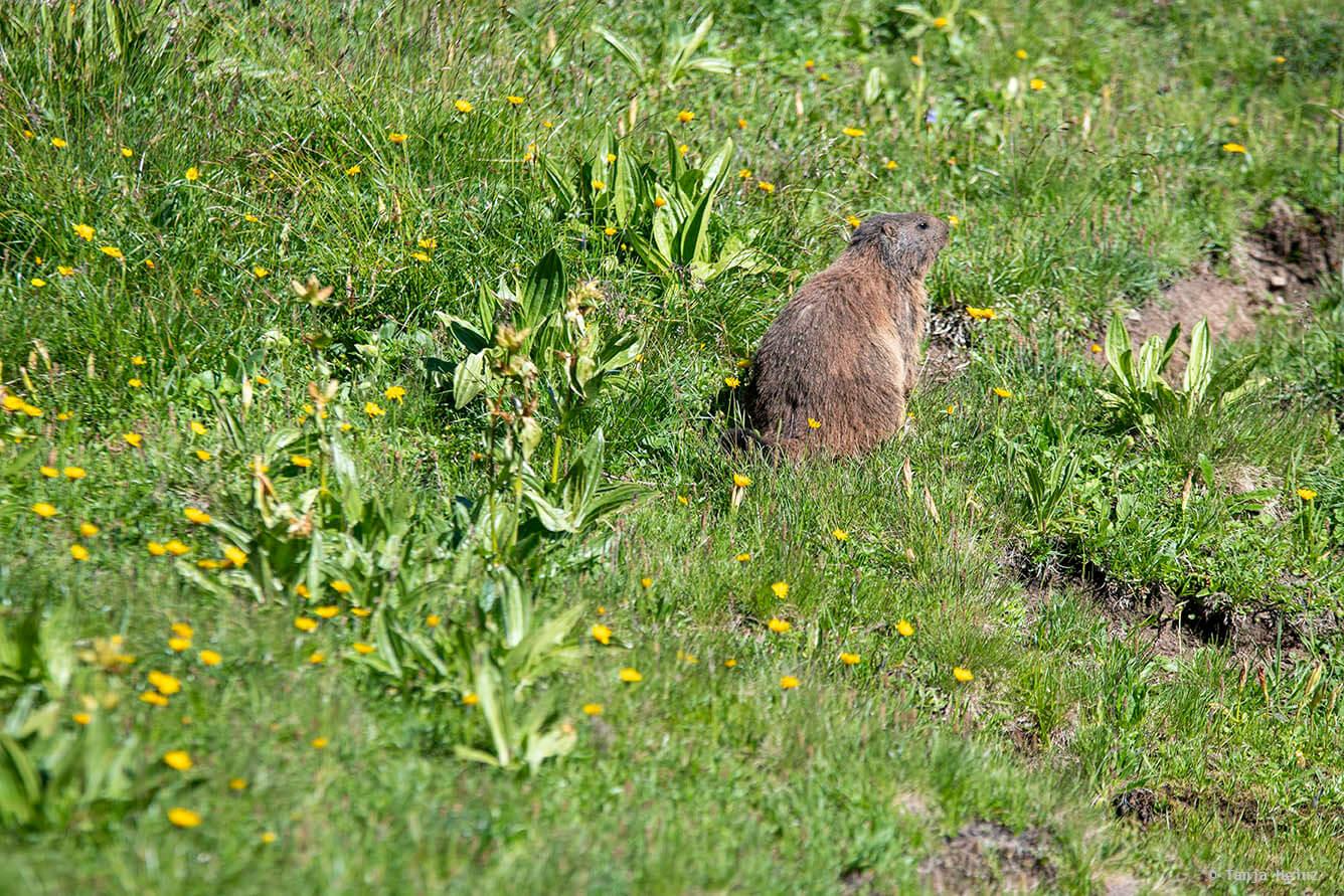 Marmots around the Kemptner Hütte