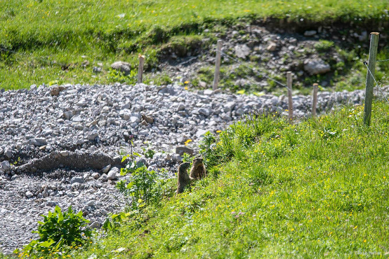 Alpine marmots in the Allgäu Alps