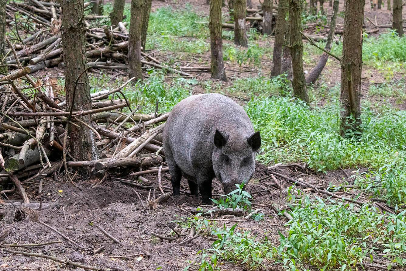 Wildschweine im Wildpark Schorfheide