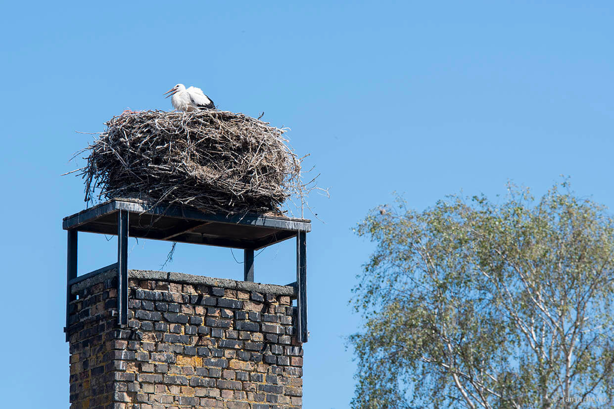 white storks in Linum