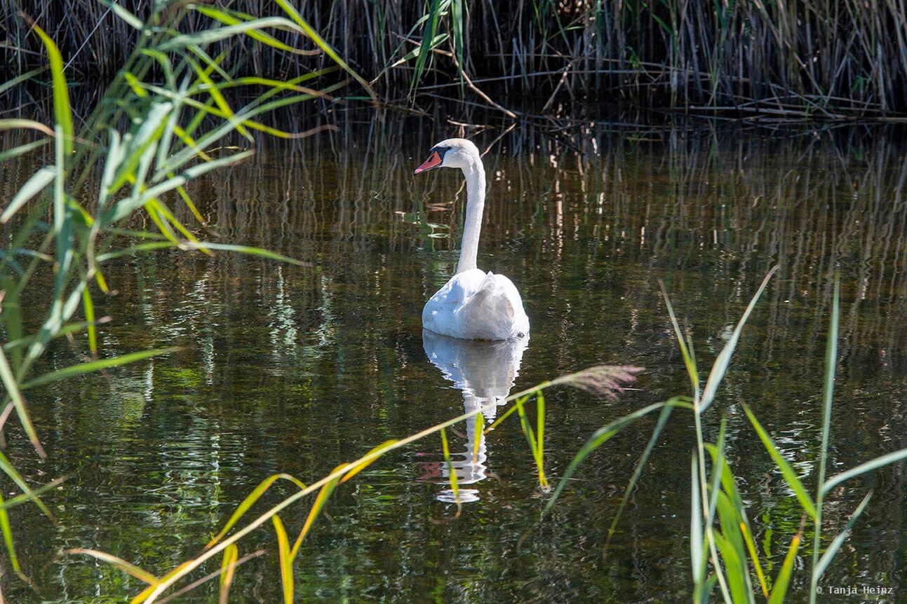 mute swan in Linum